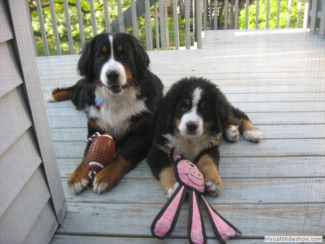 Dazzle (left) and Riggins (right) Together<br/>(Bernese Mountain Dogs)