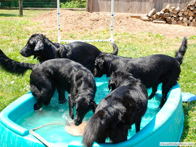 Playing in the Pool!<br/>(Flat Coated Retrievers)