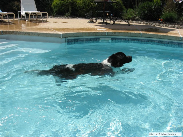 Loki Swimming in the Pool<br/>(Newfoundland)