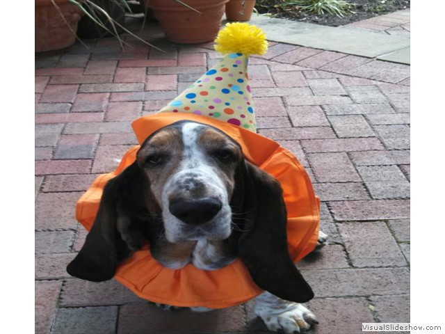 "Oberon says, ""Trick or Treat!"" (Bassett Hound)"