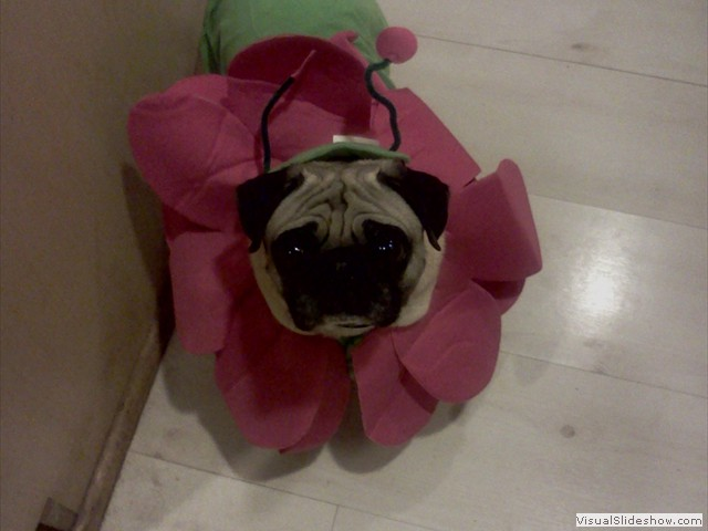 Ruby All Dressed Up<br/>(Pug)
