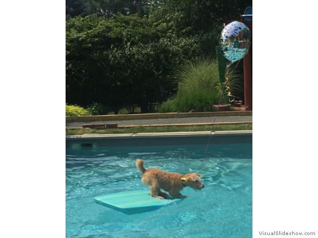 Teddy Preparing to Dive In!<br/>(Airedale)