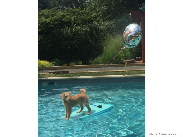 Teddy Enjoying Some Time in the Pool<br/>(Airedale)