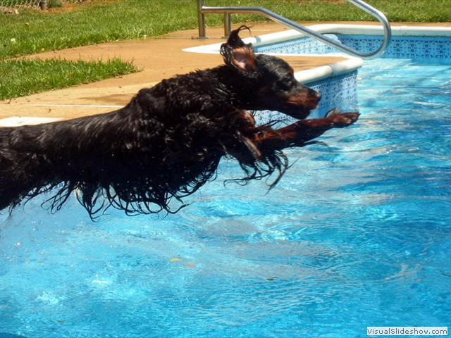 Tyler Jumping In to the Pool<br/>(Gordon Setter)