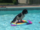 Benji Enjoying the Pool (Havanese)