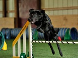 Coal Jumping High in Agility (Flat Coated Retriever)