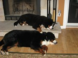 Dazzle (bottom) and Riggins (top) Sleeping<br/>(Bernese Mountain Dogs)
