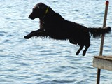 Jette Jumping Off the Dock<br/>(Flat Coated Retriever)