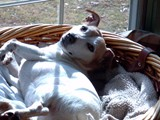 Madeline Relaxing in the Sun (Jack Russell Terrier)