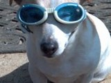 Madeline Looking Hip in Her Sunglasses (Jack Russell Terrier)