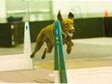 Melody Playing Flyball<br/>(Viszla)