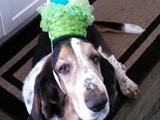 Oberon Showing Off His Easter Egg Bonnet (Bassett Hound)