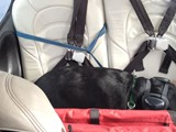 Piper Taking a Nap on the Plane (Black Labrador Retriever)