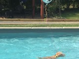 Teddy Cooling Off with a Swim<br/>(Airedale)